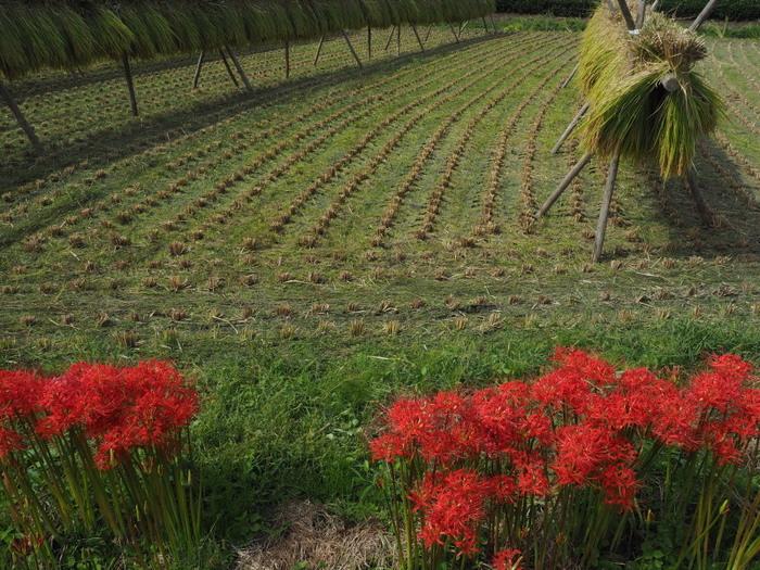 収穫の赤い秋音